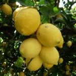 Anche gli Agrumeti e i Limoni di Capri  saranno tutelati dalla nuova legge (IL TESTO COMPLETO)
