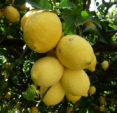 (Offerta coupon) Limoni di Capri Doc, 5 kg  15.00 euro