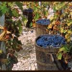Capri. La Vendemmia sull'isola tra storia e tradizioni nei video di Don Vincenzo Simeoli
