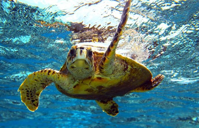 """Salvata nelle acque di Capri un meraviglioso esemplare di tartaruga """"Caretta Caretta"""""""