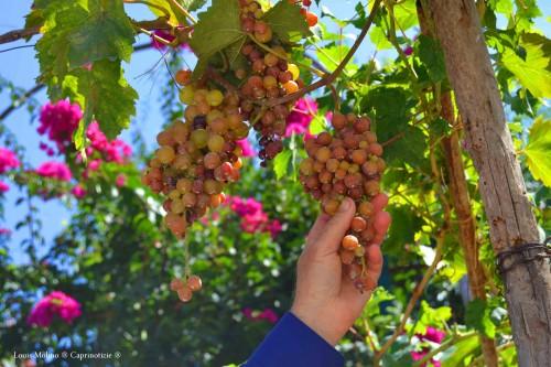 don vincenzo uva 7