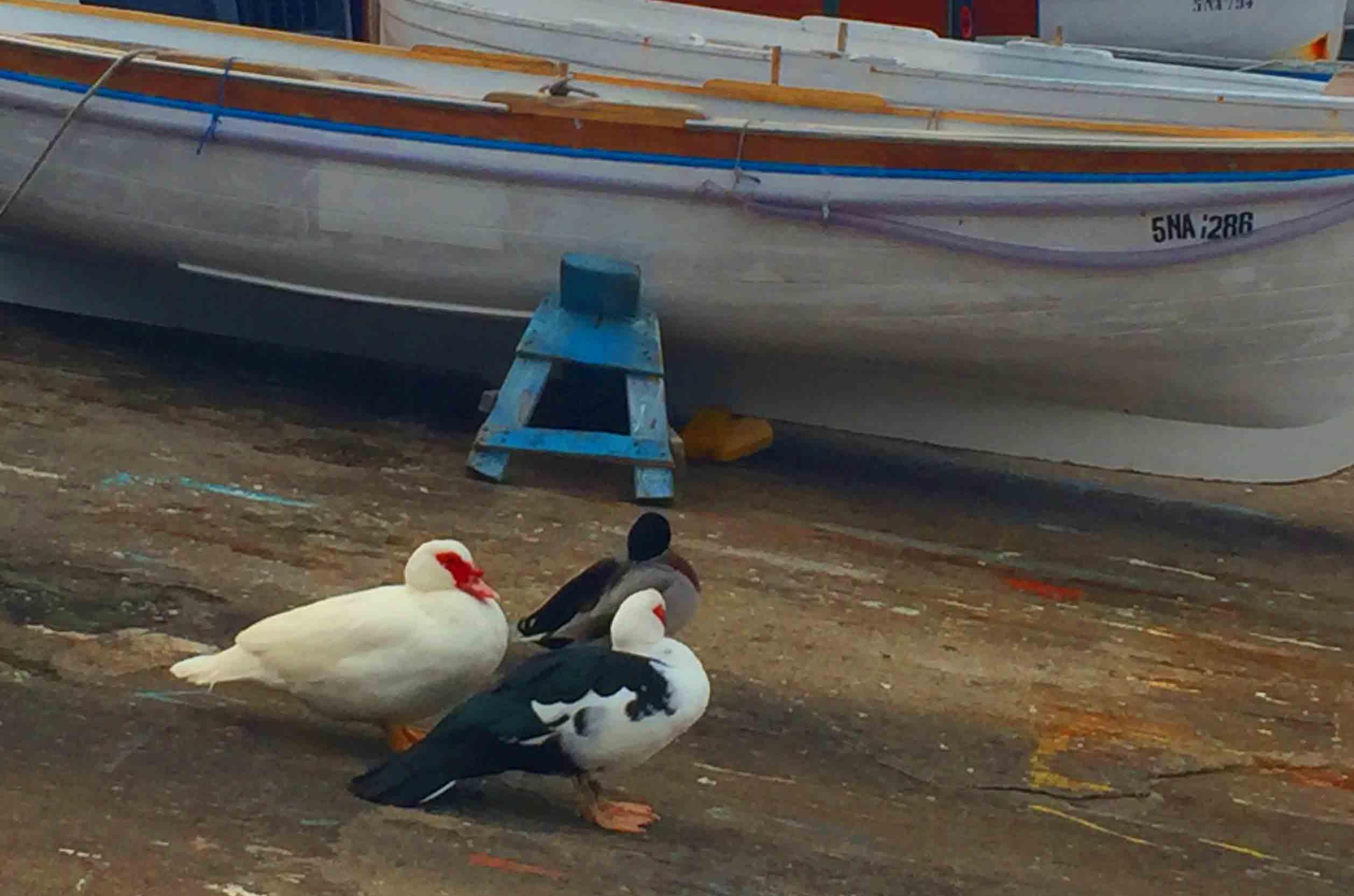 Capri: l'Anatra Teresina trova compagnia (VIDEO)