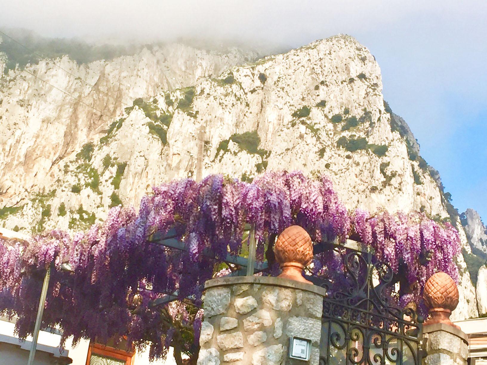 Capri. Glicini in fiore ecco lo spettacolo della primavera FOTO
