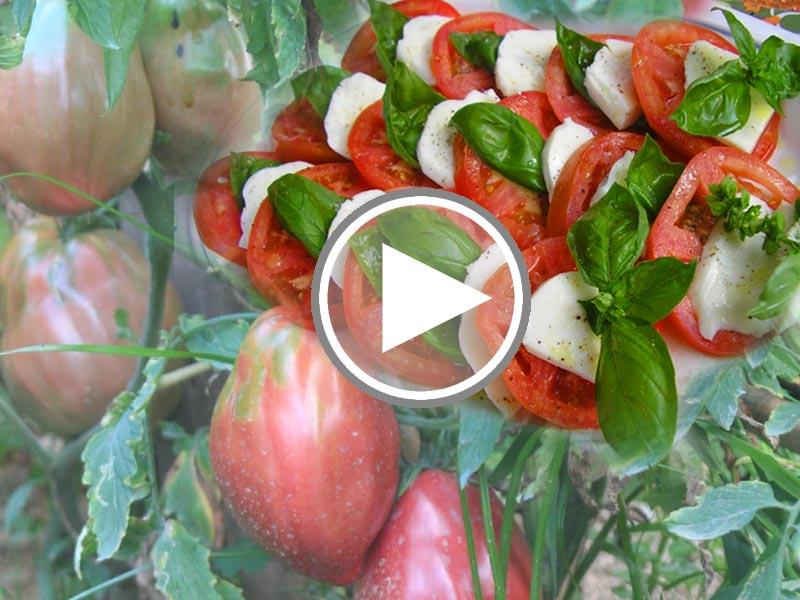 """Capri. La raccolta del Pomodori """"Cuori di Bue"""" ingredienti indispensabili per la """"Caprese"""""""