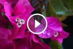 Capri: Lo spettacolo delle Bougainvillee bagnate dalla pioggia di Settembre (VIDEO)