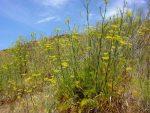 Il Finocchietto selvatico a Capri:  Proprietà, Benefici e ricetta del famoso liquore