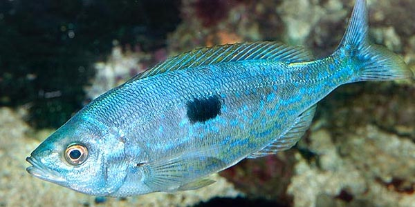 """Da Capri: """"La Mennella"""" proprietà, valori nutrizionali e ricette di un pesce poco conosciuto"""
