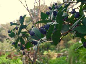 """Il Mirto di Capri: Proprietà e la Ricetta del liquore chiamato """"Murtell"""" (VIDEO)"""