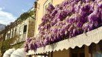 Capri. Glicini in Fiore quando la Primavera regala uno spettacolo straordinario (VIDEO)