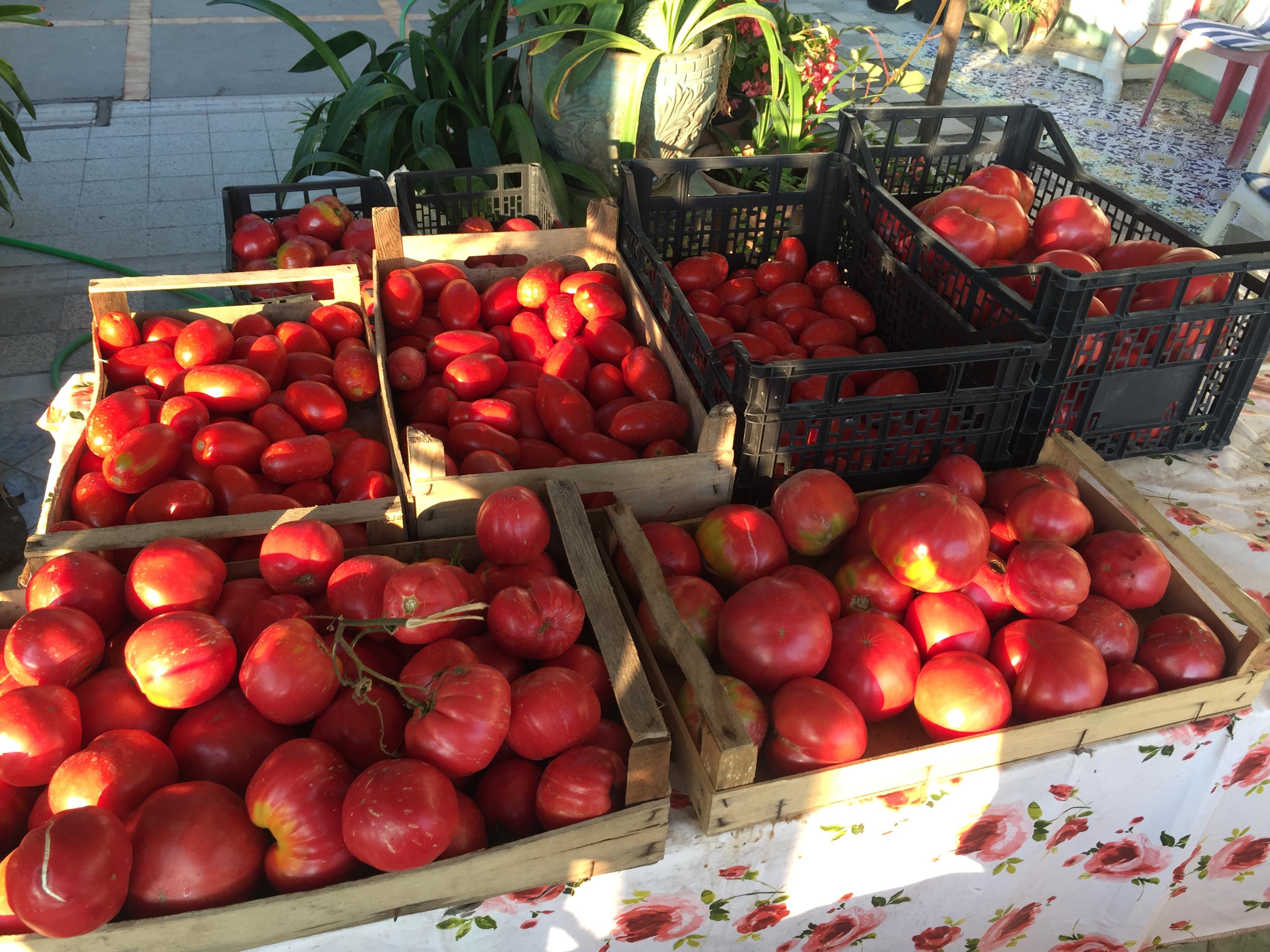 """Capri. Raccolti da Record per i Pomodori, non solo i """"Cuori di Bue"""" ( Video e foto)"""